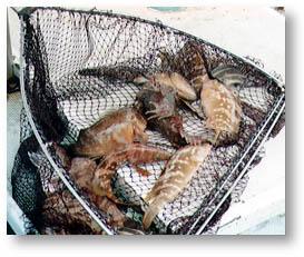 ▲網の中の魚