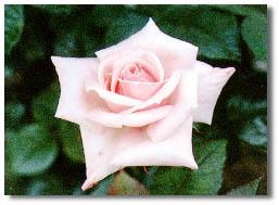 市の花 バラ