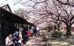 毎年、大勢の人々が訪れる春の観桜会
