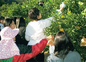 かんきつ収穫体験(幡多広域観光協議会提供)