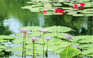 画像:北川村「モネの庭」マルモッタン