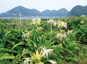 画像:沖の島に群生する「ハマユウ」