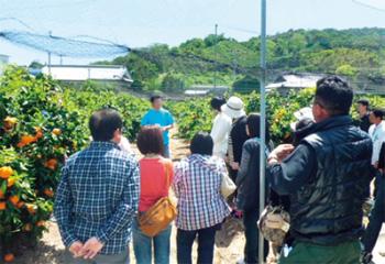 画像:カラマンダリンの収穫作業を通した婚活イベント