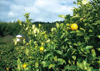 画像:レモンの散歩道