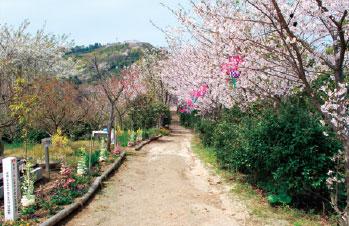 画像:見事な桜並木(観音崎)