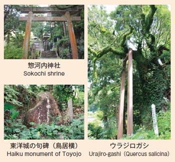 惣河内神社、東洋城の句碑(鳥居横)、ウラジロガシ