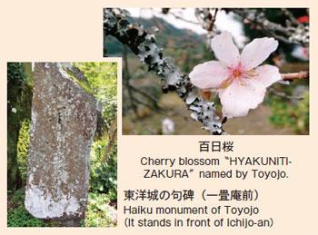 百日桜、東洋城の句碑(一畳庵前)